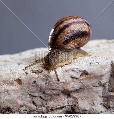 Snail Crawling Stone