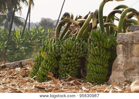 Bunch of bananas on a banana plantation in India. Bananas on a b