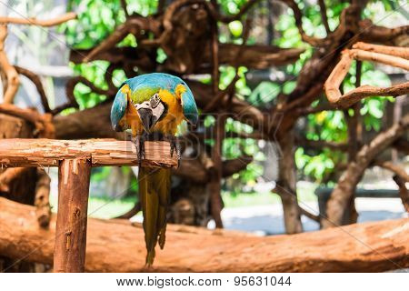 Blue-and-yellow Macaw, Also Known As Blue-and-gold Macaw