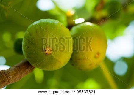 Green figs on the tree in a sunny day, shallow focus