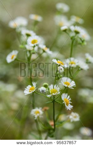 Detail of a white meadow flower, shallow focus