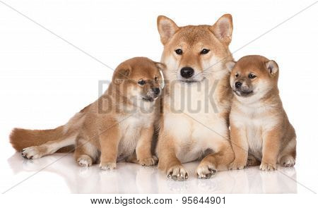 red shiba inu dog with two puppies