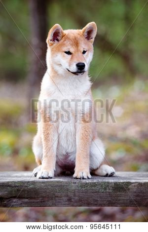 adorable red shiba inu puppy outdoors in summer