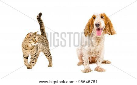 Funny dog of breed Russian Spaniel and cat Scottish Straight