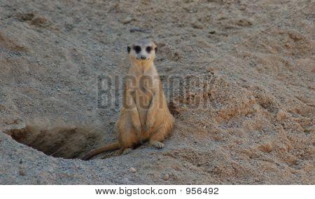 A Lonely Meerkat