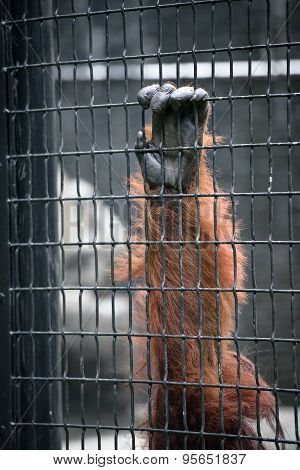 Orangutan Hand On A Cage Cell