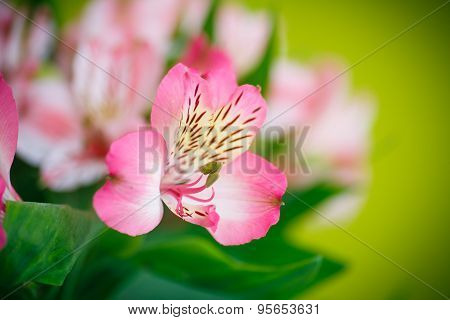 Beautiful Bouquet Of Flowers Alstroemeria
