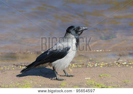 Crow Near The Water