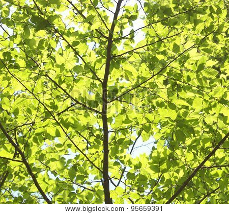 Green  Leaves. Spring Backgrounds