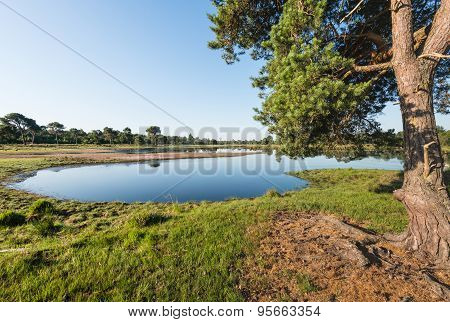 Scotch Fir And A Natural Pond In Summer