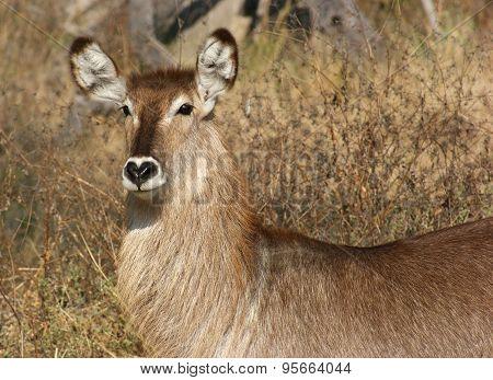 Waterbuck Portrait