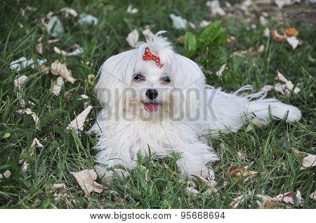 dog maltese lying in the grass