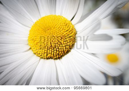 White decorative flower garden chamomile growing in the flowerbed, closeup