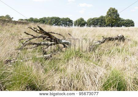 Landscape With Dead Birch Tree.