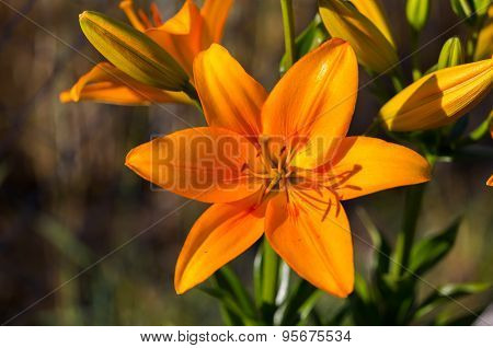 Beautiful Lily Growing In Garden Close Up