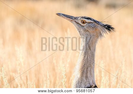 A Kori Bustard In The Kgalagadi