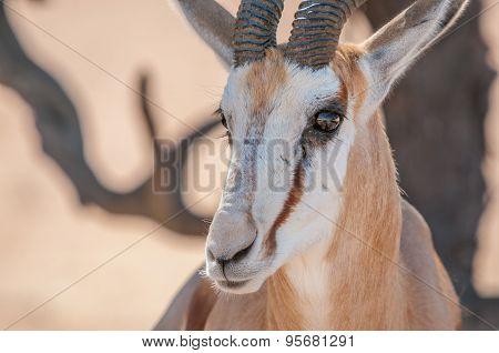 Close-up Of Springbok Face