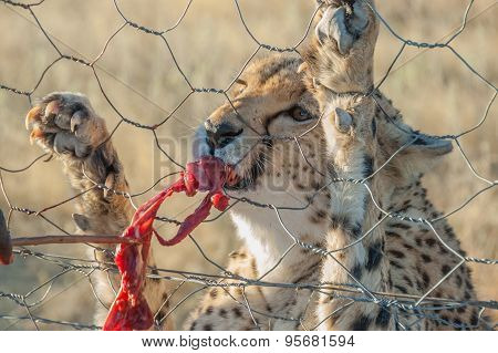 Feeding A Cheetah In Captivity