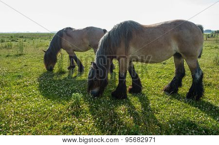 Two Grazing Belgian Horses