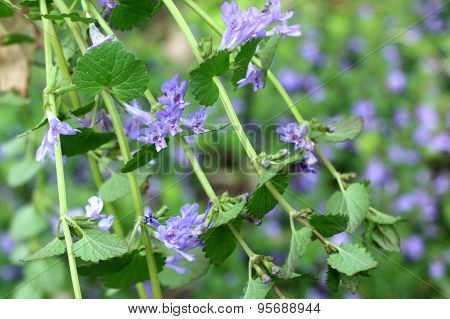 Glechoma Hederacea / Creeping Charlie