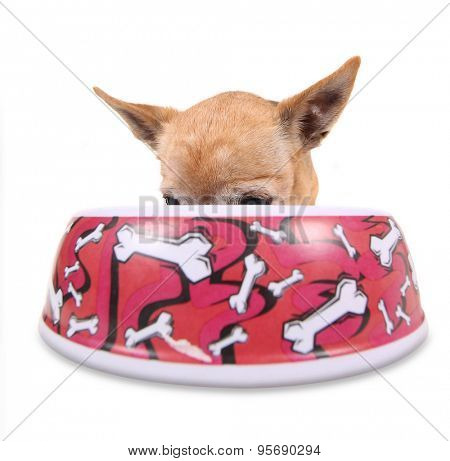 a hungry chihuahua dog eating food from bowl that's bigger than he is with bones on it