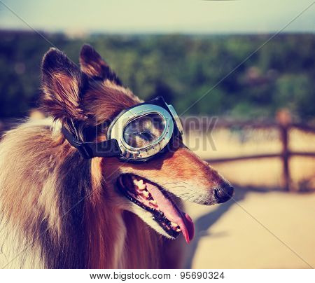 a collie posing for the camera up above a city during a hot summer day with goggles on toned with a retro vintage instagram filter app or action effect