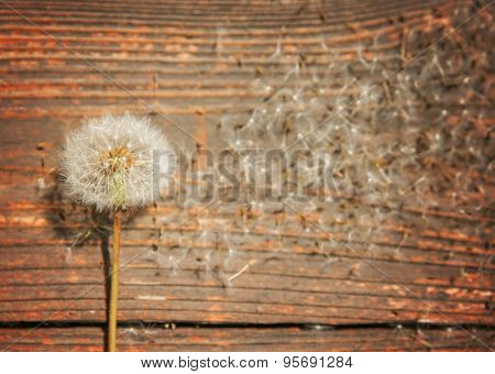 several dandelion weeds on an aged wooden background (VERY SHALLOW DOF)