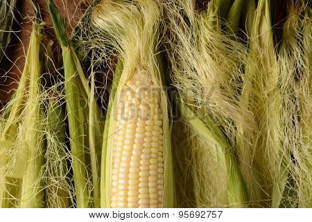 An ear of fresh picked corn on the cob. It is partially shucked and surrounded by more silk and husk in horizontal format.