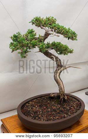 Miniature Japanese tree