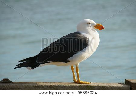 Seagull by the water