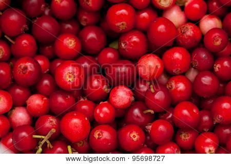 Freshly Picked Lingonberry