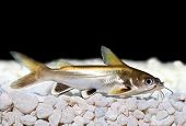 picture of catfish  - Silver - JPG