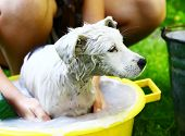 picture of wash-basin  - kids wash stray white puppy in yellow basin on the summer garden background - JPG