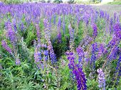 stock photo of lilas  - A colorful meadow of bright purple lupines - JPG