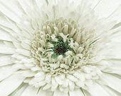 stock photo of chrysanthemum  - close up beautiful chrysanthemum The view from the top - JPG