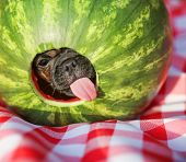 picture of pug  - a cute baby pug chihuahua mix puppy looking out of hole cut into a watermelon and licking around the edge during summer - JPG