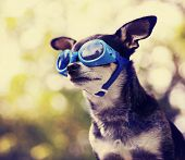 pic of goggles  - a cute chihuahua wearing goggles and sitting outside during summer time  - JPG