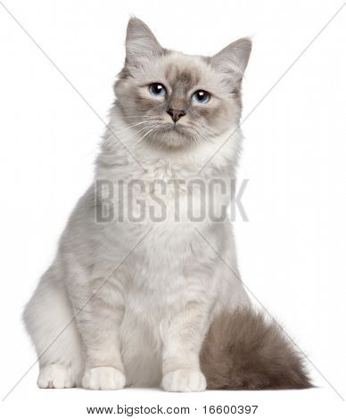 Birman cat, 9 months old, sitting in front of white background