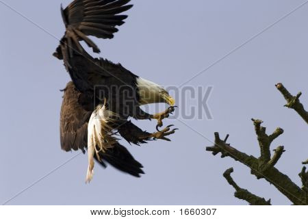 Bald Eagle With Talons