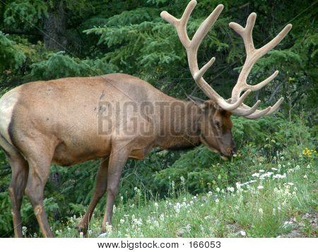 Toro Elk