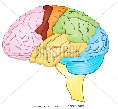high detailed illustration of a human brain with color