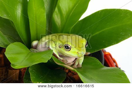 a green tree frog nestled in a plant
