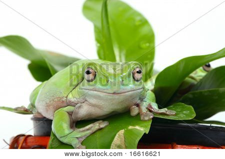 two green frogs sitting on a plant