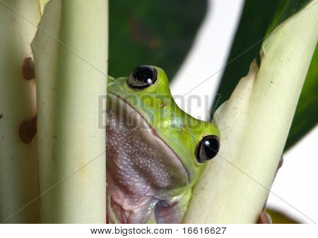 a green tree frog nestled among the stems of a plant