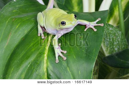 green tree frog on plant