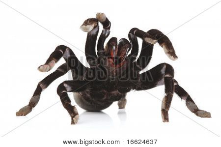 a studio photo of a tarantula