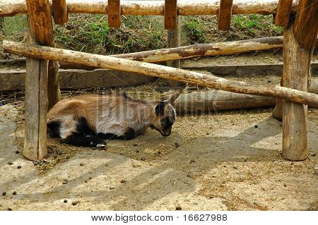 baby goat laying