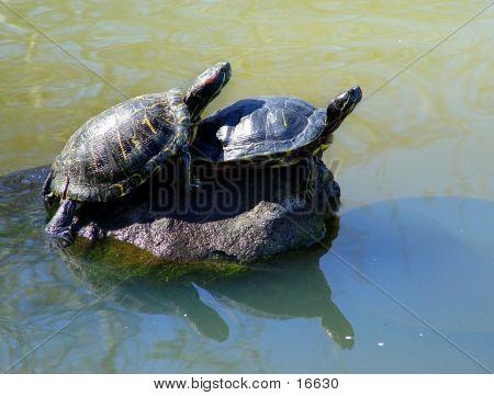Paar Schildkröten