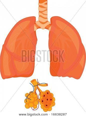 Abbildung der Lungen auf weiß