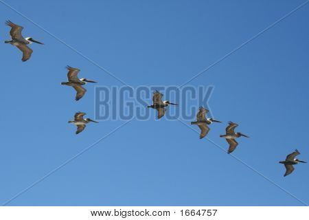 Brown Pelican Flock